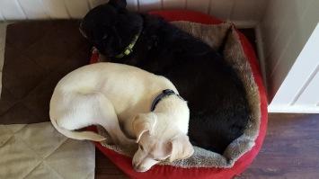 dogs-buddies