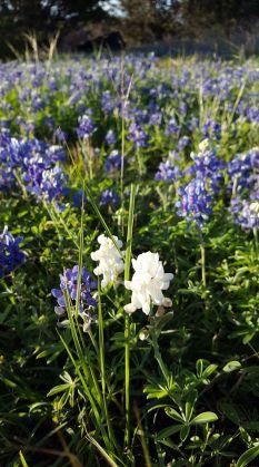 albino-bluebonnets